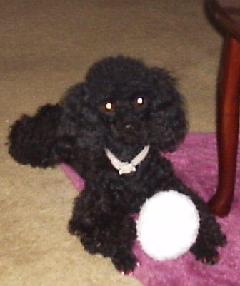 Miniature Poodles For Sale In Louisiana